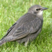 A young starling sitting in a lawn.