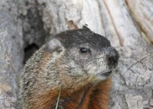 Ground Hog (Woodchuck)
