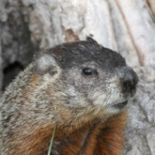 Ground Hog (Woodchuck)