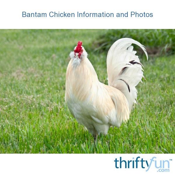 Bantam Chicken Information And Photos Thriftyfun