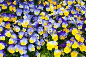 Large patch of pansies.