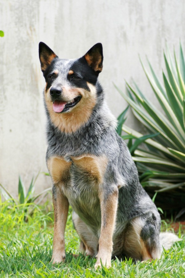 Australian Cattle Dog Breed Information And Photos