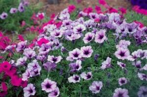 petunia annuals
