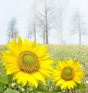 Sunflowers in the cold.