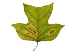 Leaves Turning Brown