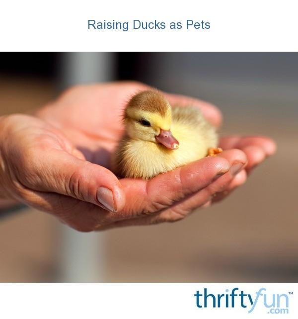 Raising Ducks as Pets | ThriftyFun