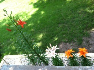 Several Asiatic lilies.