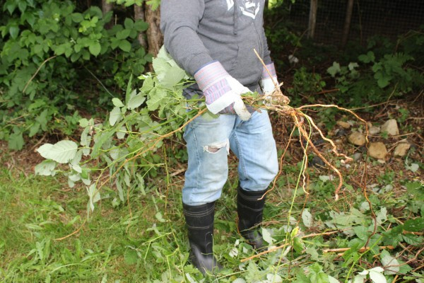 In Some Parts Of The Country Wild Blackberries Can Be Very Invasive And Difficult To Get Rid Without Chemicals This Is A Guide About Removing