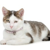 Gray and white domestic shorthaired cat.