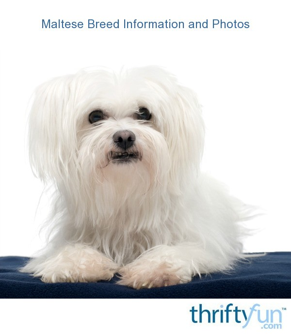 Maltese Breed Information And Photos Thriftyfun