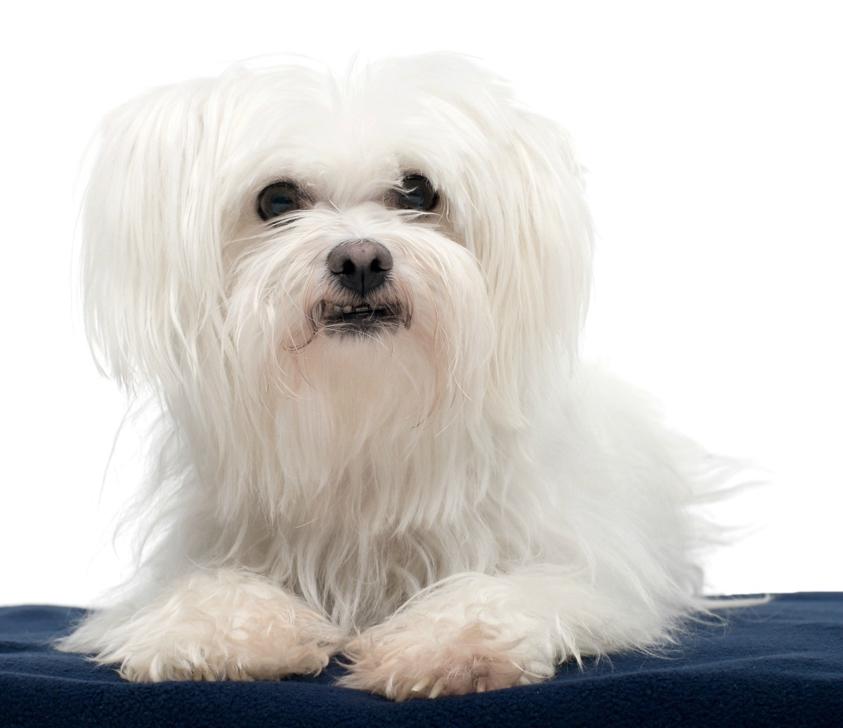Maltese Breed Information and Photos | ThriftyFun