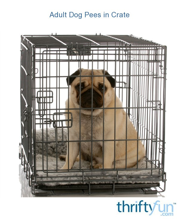 how to crate train an adult dog