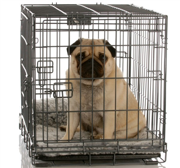 Dog peeing in cage