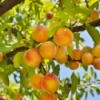 Photo of a plum tree with delicious fruit.