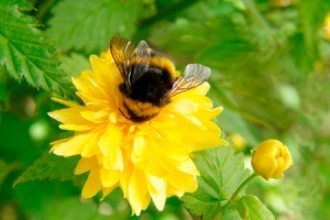 Bumblebee on a flower.