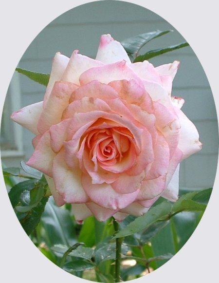 Kordes Perfecta Pink Rose