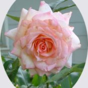 Kordes Perfecta Pink Rose