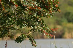 Brazilian Pepper Tree