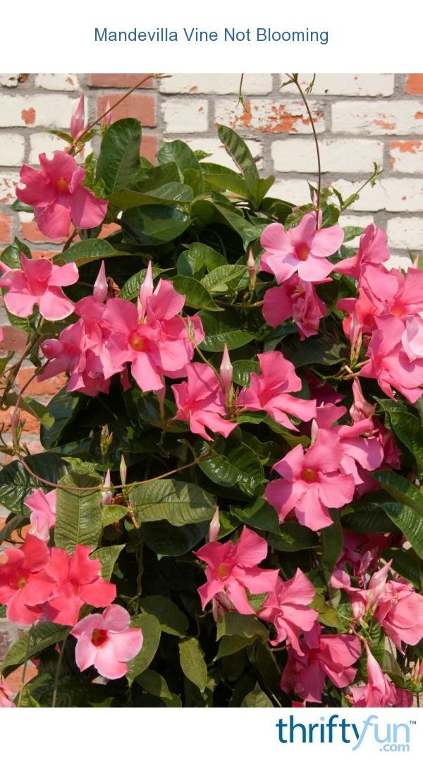 Mandevilla Vine Not Blooming Thriftyfun