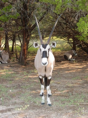 Oryx at Fossil Rim Wildlife Center