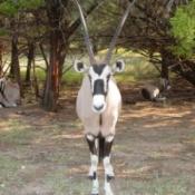 Oryx at Fossil Rim Wildlife Center