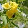 Esperanza (Tecoma Stans) Plant