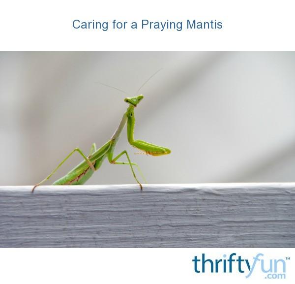 Caring For A Praying Mantis Thriftyfun