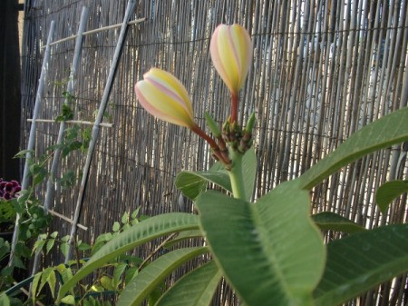 Tulip shaped flowers on thick stalks.