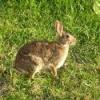 Wild brown rabbit.