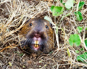 Gopher coming out of a hole.