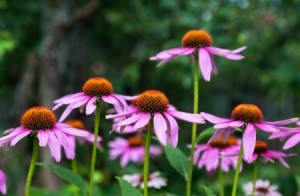 Growing Coneflowers (Echinacea)