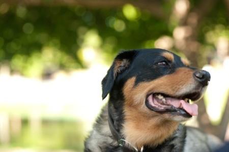 Labrador Rottweiler