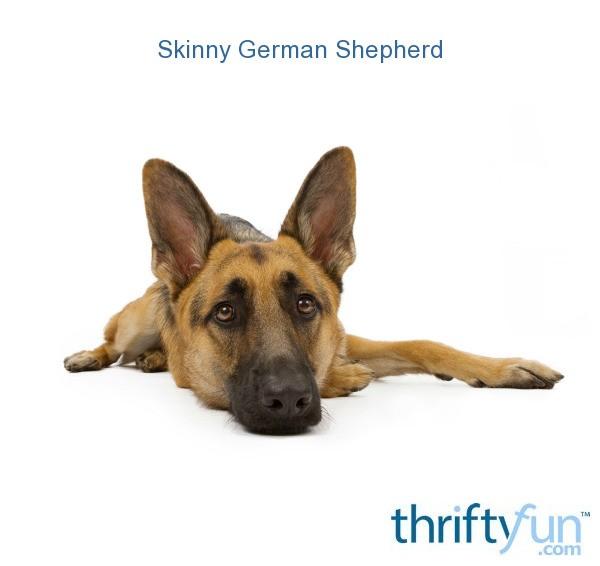 Skinny German Shepherd Thriftyfun