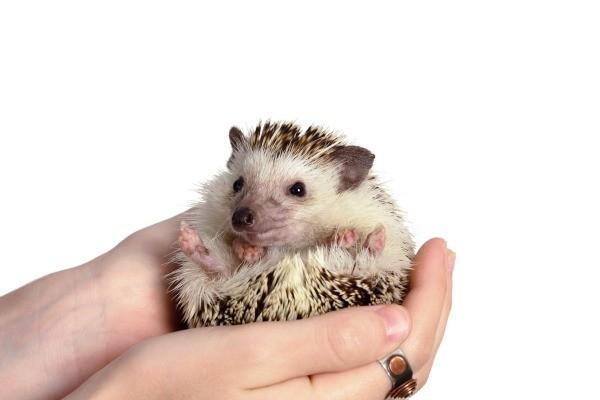 Pet Hedgehog Information and Photos | ThriftyFun