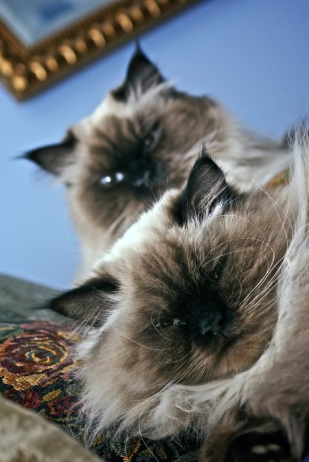 Two male Persian cats.