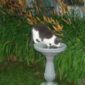 Cat in birdbath.
