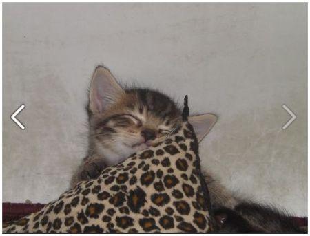 Leopard Dreams (Kitten)