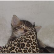 Leopard Dreams (Kitten)