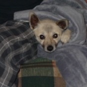 Dog under blankets.