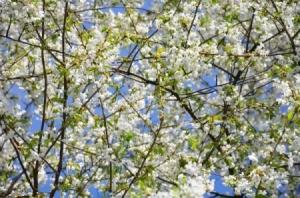 Prunus avium in bloom.