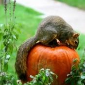 A squirrel eating a pumpkin in a vegetable garden.