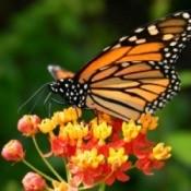 How Gardeners Can Help Monarch Butterflies