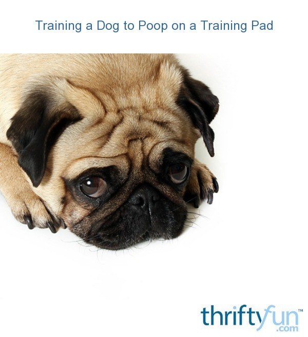 Dog Has Diarrhea On Rug: Training A Dog To Poop On A Training Pad