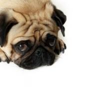 Pug looking guilty.