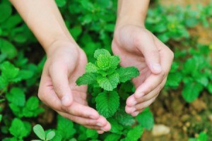 Photo of someone with their hands around growing mint.