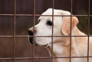 Lab in a kennel.