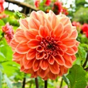 Photo of a beautiful dahlia.