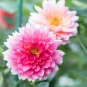 Photo of two dahlias.