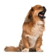 A cute dog yawning.