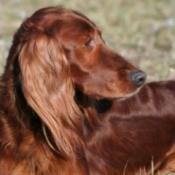 dog with shiny coat